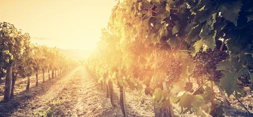 Vineyard in Tuscany, Italy. Wine farm at sunset. Vintage